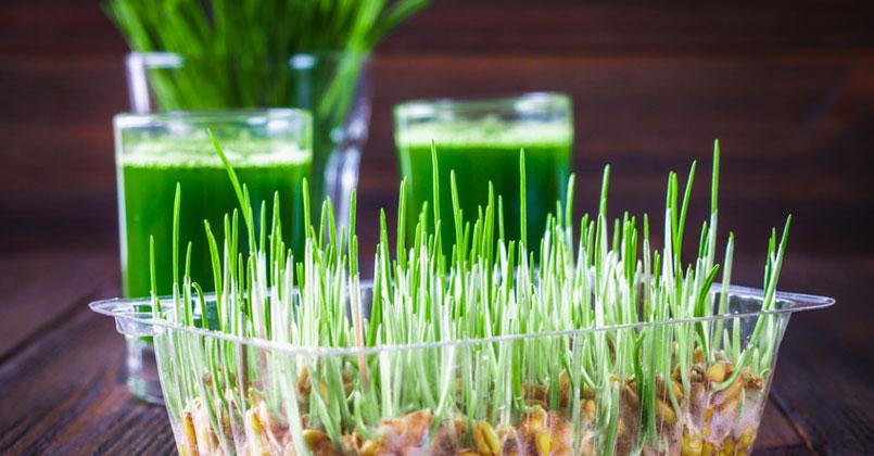 L'herbe de blé